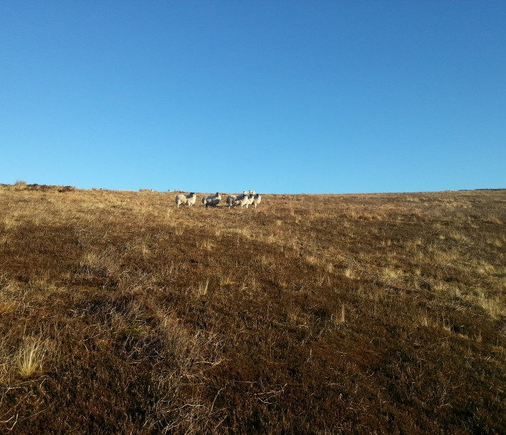 Ewes at the top of Third Cleugh. December 2014